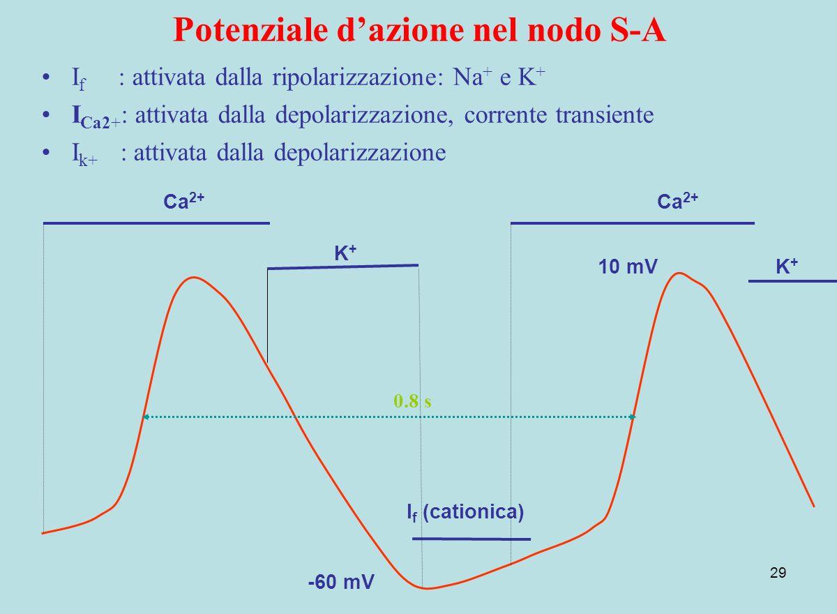 29 Potenziale dazione nel nodo S-A 10 mV I f (cationica) Ca 2+ -60 mV I f : attivata dalla ripolarizzazione: Na + e K + I Ca2+ : attivata dalla depola