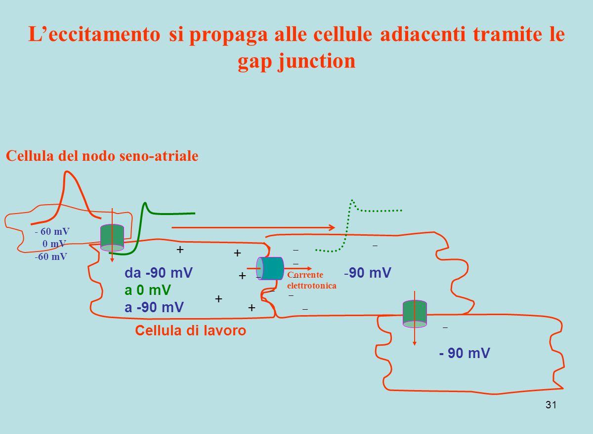 31 + + + + + da -90 mV a 0 mV a -90 mV -90 mV Leccitamento si propaga alle cellule adiacenti tramite le gap junction Corrente elettrotonica - 60 mV 0