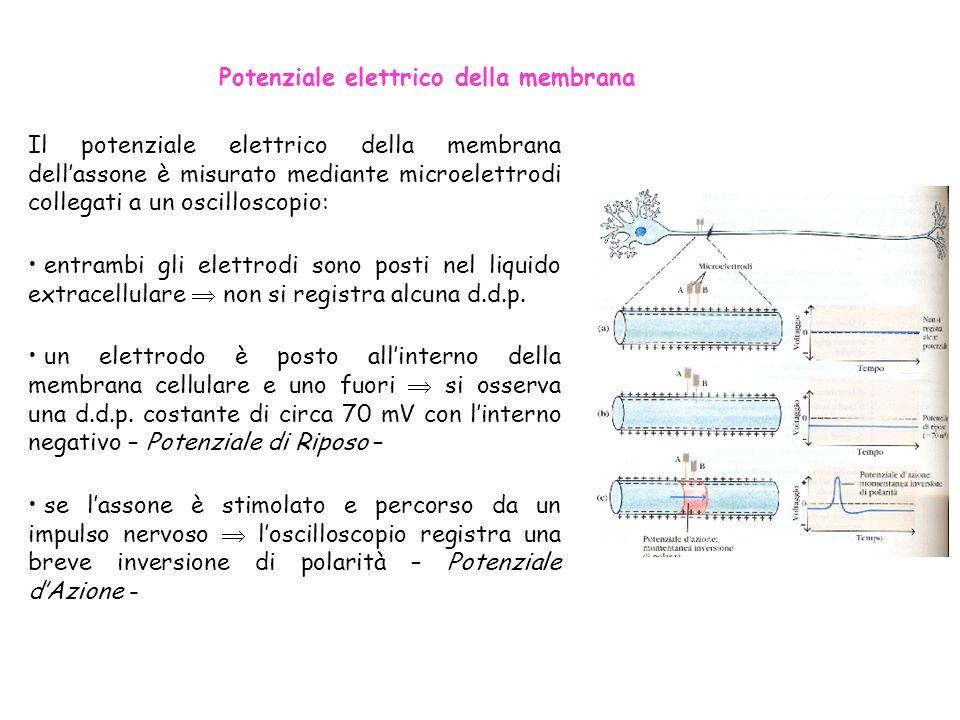 Potenziale elettrico della membrana Il potenziale elettrico della membrana dellassone è misurato mediante microelettrodi collegati a un oscilloscopio:
