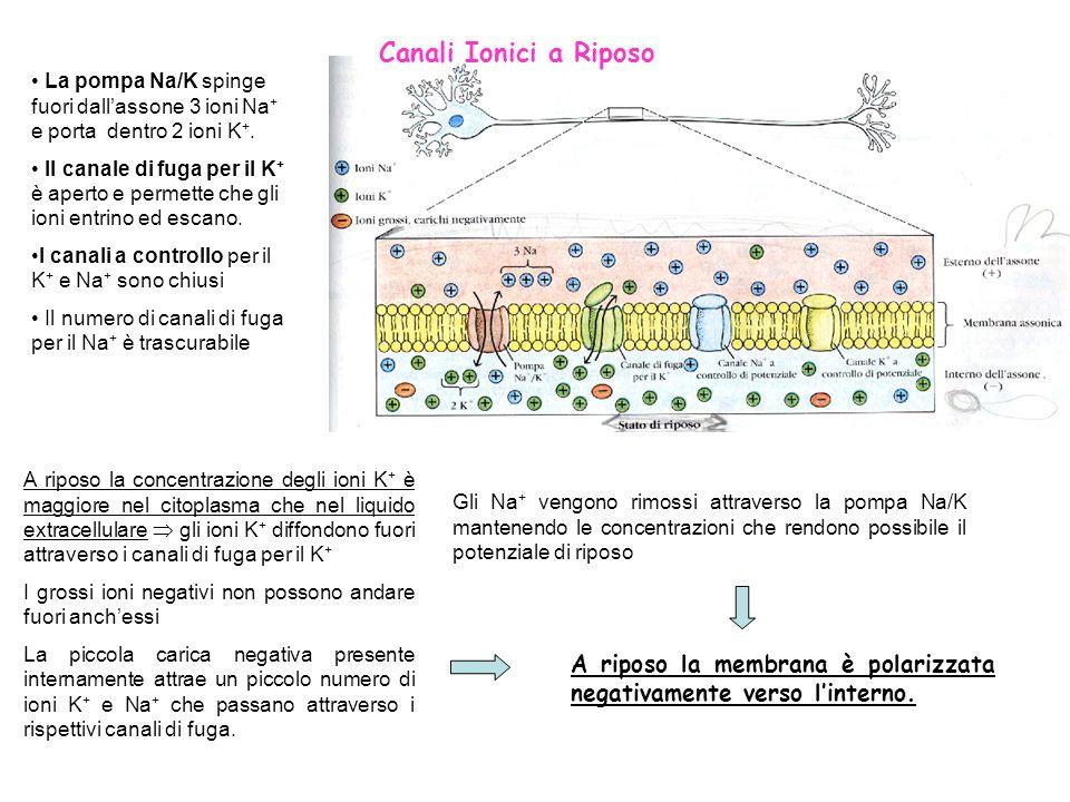 Canali Ionici a Riposo A riposo la membrana è polarizzata negativamente verso linterno. La pompa Na/K spinge fuori dallassone 3 ioni Na + e porta dent