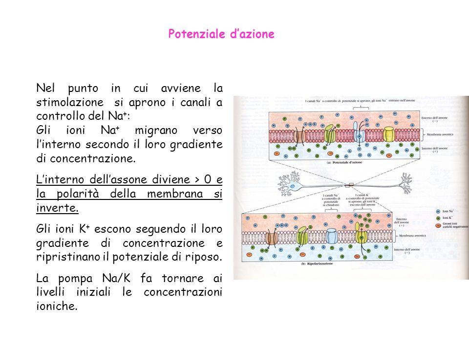 Potenziale dazione Nel punto in cui avviene la stimolazione si aprono i canali a controllo del Na + : Gli ioni Na + migrano verso linterno secondo il