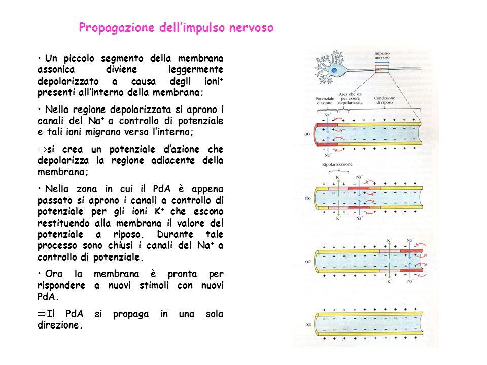 Propagazione dellimpulso nervoso Un piccolo segmento della membrana assonica diviene leggermente depolarizzato a causa degli ioni + presenti allintern