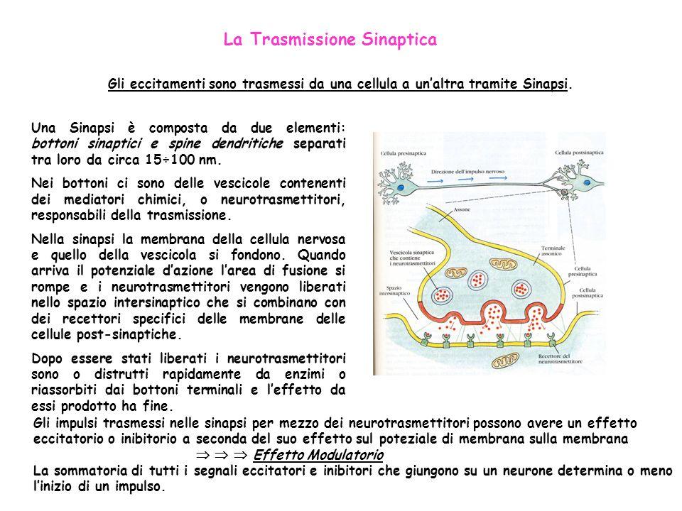 La Trasmissione Sinaptica Gli eccitamenti sono trasmessi da una cellula a unaltra tramite Sinapsi. Una Sinapsi è composta da due elementi: bottoni sin