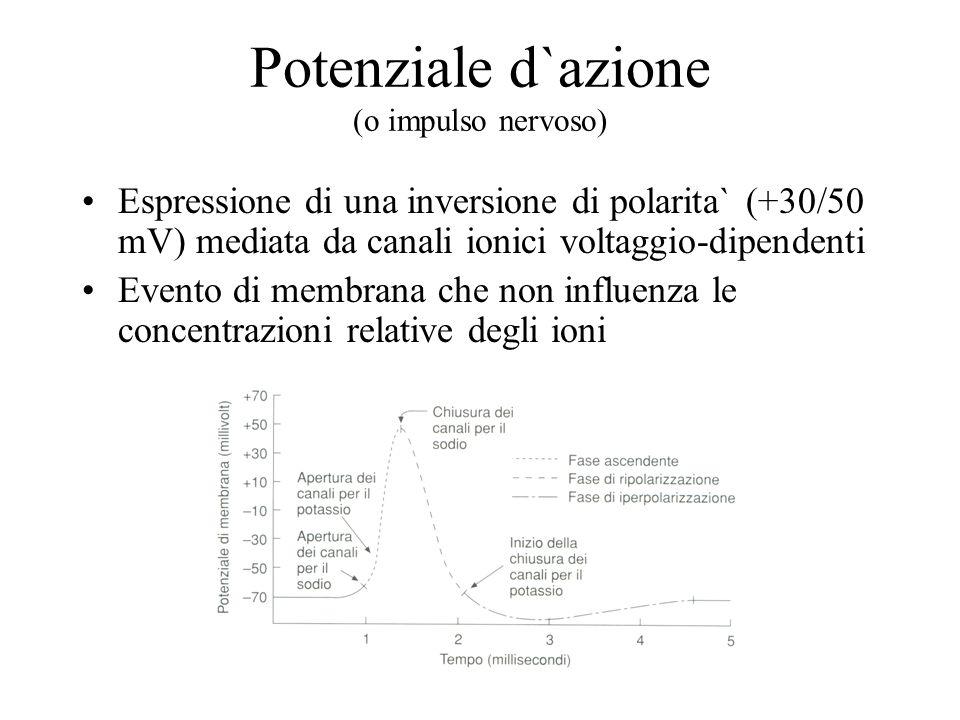 Potenziale d`azione (o impulso nervoso) Espressione di una inversione di polarita` (+30/50 mV) mediata da canali ionici voltaggio-dipendenti Evento di