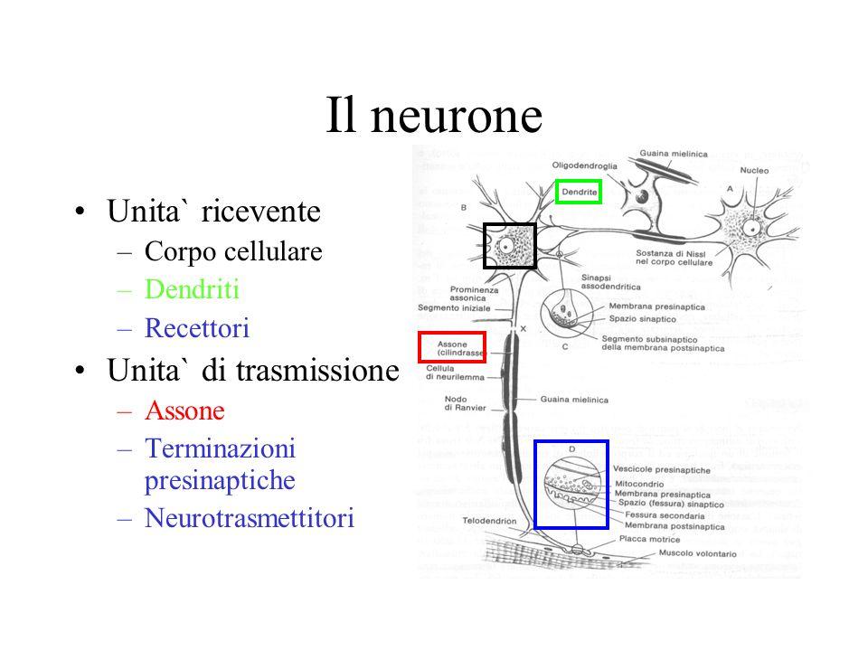 Il neurone Unita` ricevente –Corpo cellulare –Dendriti –Recettori Unita` di trasmissione –Assone –Terminazioni presinaptiche –Neurotrasmettitori