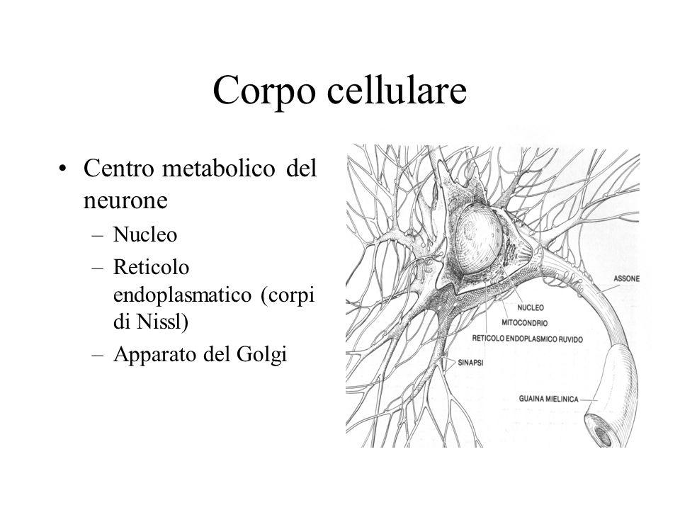 Vita del neurotrasmettitore Sintesi nel corpo cellulare Immagazzinamento nelle vescicole Trasporto assonale verso terminazioni presinaptiche Liberazione a seguito di PPSE Interazione con un recettore disattivazione