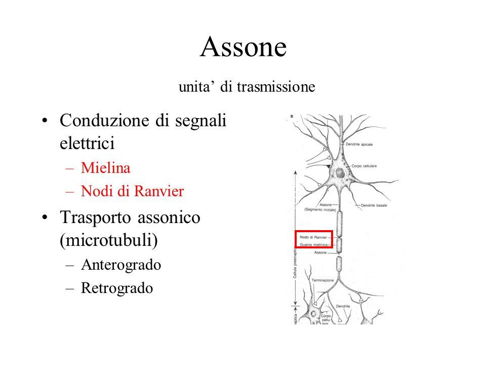 Assone unita di trasmissione Conduzione di segnali elettrici –Mielina –Nodi di Ranvier Trasporto assonico (microtubuli) –Anterogrado –Retrogrado