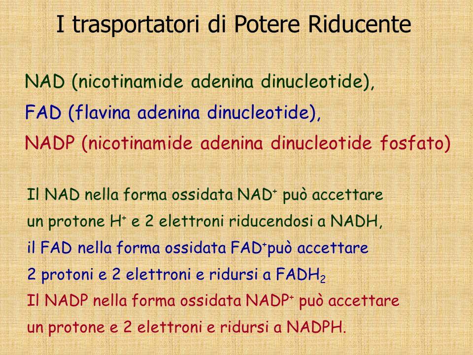 Il NAD nella forma ossidata NAD + può accettare un protone H+ H+ e 2 elettroni riducendosi a NADH, il FAD nella forma ossidata FAD + può accettare 2 p