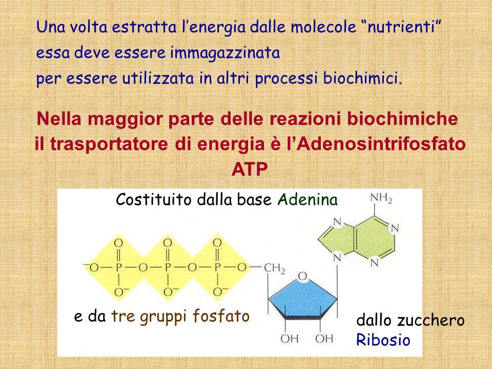 Una volta estratta lenergia dalle molecole nutrienti essa deve essere immagazzinata per essere utilizzata in altri processi biochimici. Nella maggior