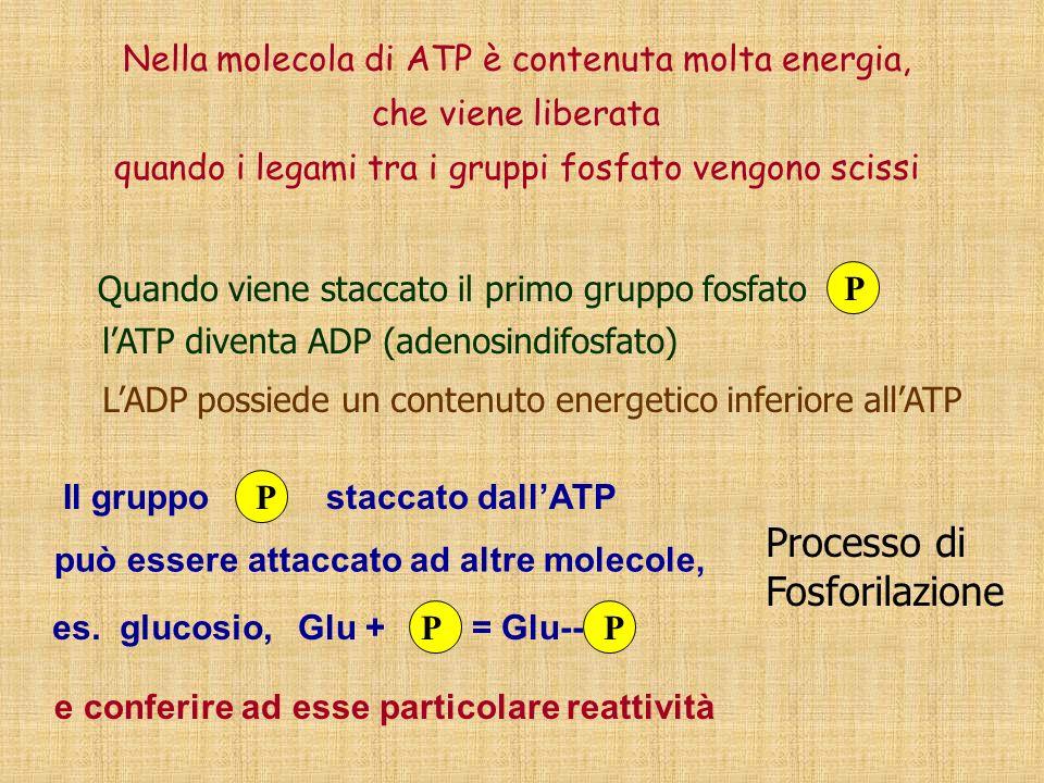 Nella molecola di ATP è contenuta molta energia, che viene liberata quando i legami tra i gruppi fosfato vengono scissi e conferire ad esse particolar