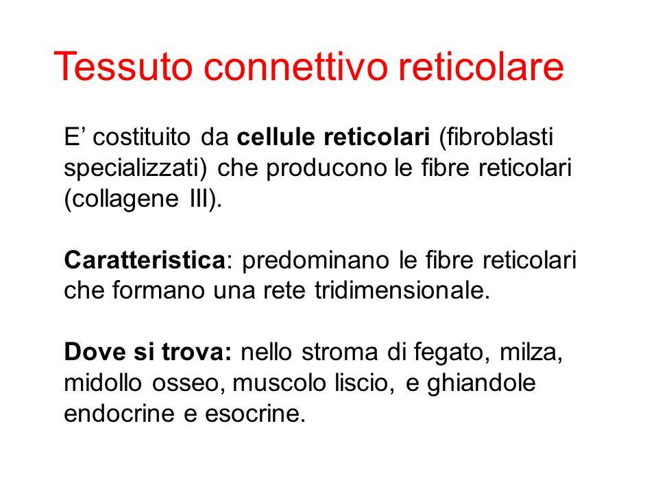 E costituito da cellule reticolari (fibroblasti specializzati) che producono le fibre reticolari (collagene III). Caratteristica: predominano le fibre