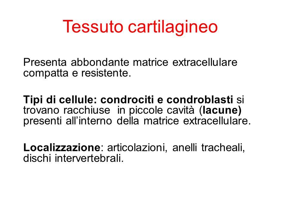Presenta abbondante matrice extracellulare compatta e resistente. Tipi di cellule: condrociti e condroblasti si trovano racchiuse in piccole cavità (l