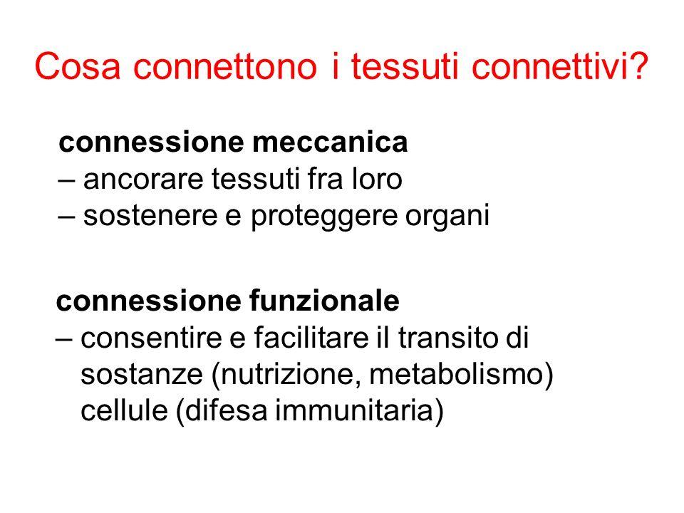 Cosa connettono i tessuti connettivi? connessione meccanica – ancorare tessuti fra loro – sostenere e proteggere organi connessione funzionale – conse