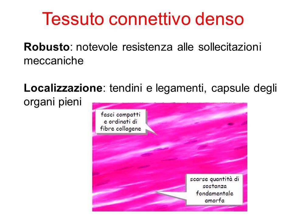 Robusto: notevole resistenza alle sollecitazioni meccaniche Localizzazione: tendini e legamenti, capsule degli organi pieni Tessuto connettivo denso