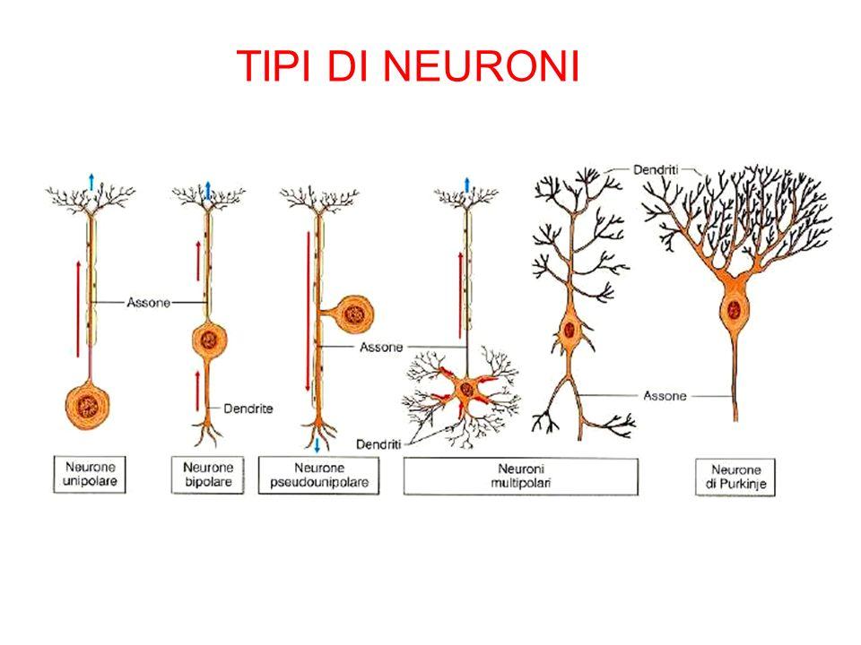 TIPI DI NEURONI
