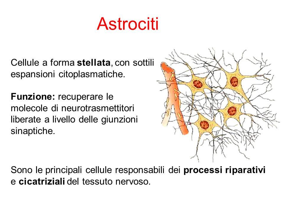 Cellule a forma stellata, con sottili espansioni citoplasmatiche. Funzione: recuperare le molecole di neurotrasmettitori liberate a livello delle giun