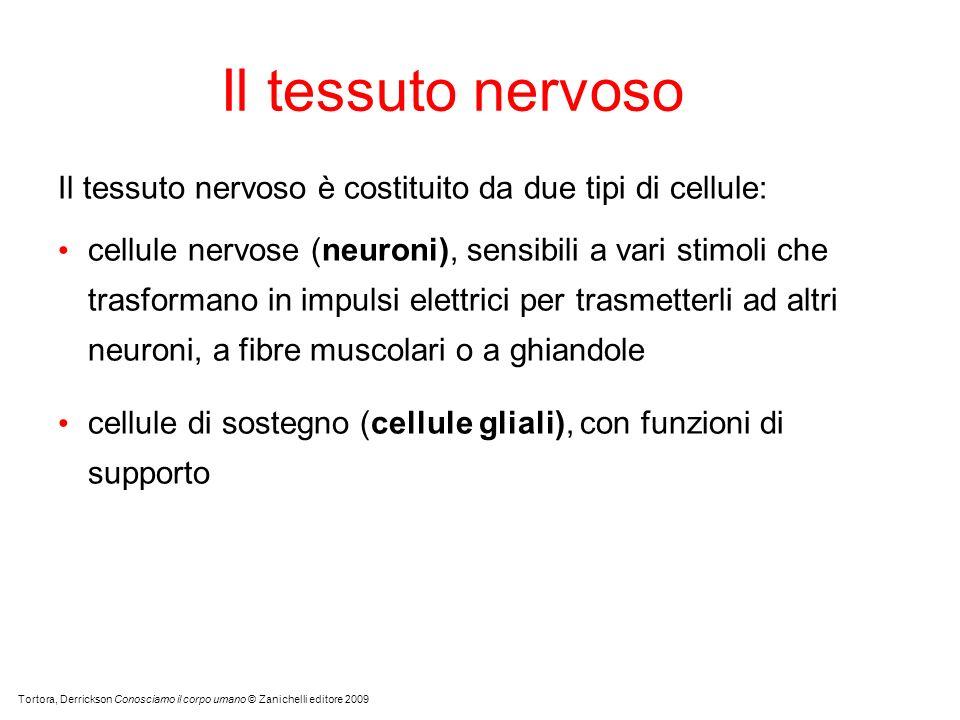 Il tessuto nervoso Tortora, Derrickson Conosciamo il corpo umano © Zanichelli editore 2009 Il tessuto nervoso è costituito da due tipi di cellule: cel