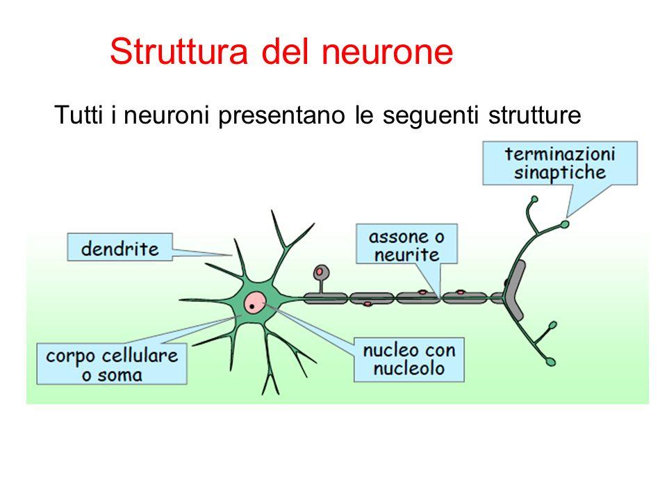 Tutti i neuroni presentano le seguenti strutture Struttura del neurone