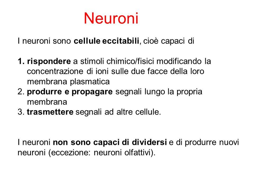 I neuroni sono cellule eccitabili, cioè capaci di 1.rispondere a stimoli chimico/fisici modificando la concentrazione di ioni sulle due facce della lo