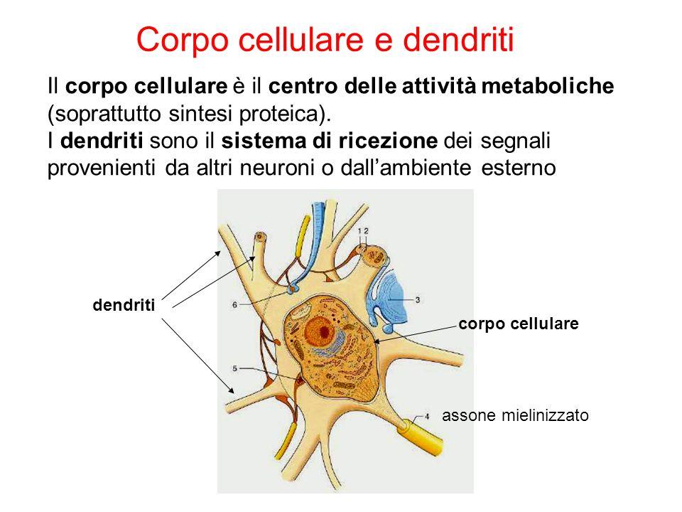 Corpo cellulare e dendriti Il corpo cellulare è il centro delle attività metaboliche (soprattutto sintesi proteica). I dendriti sono il sistema di ric