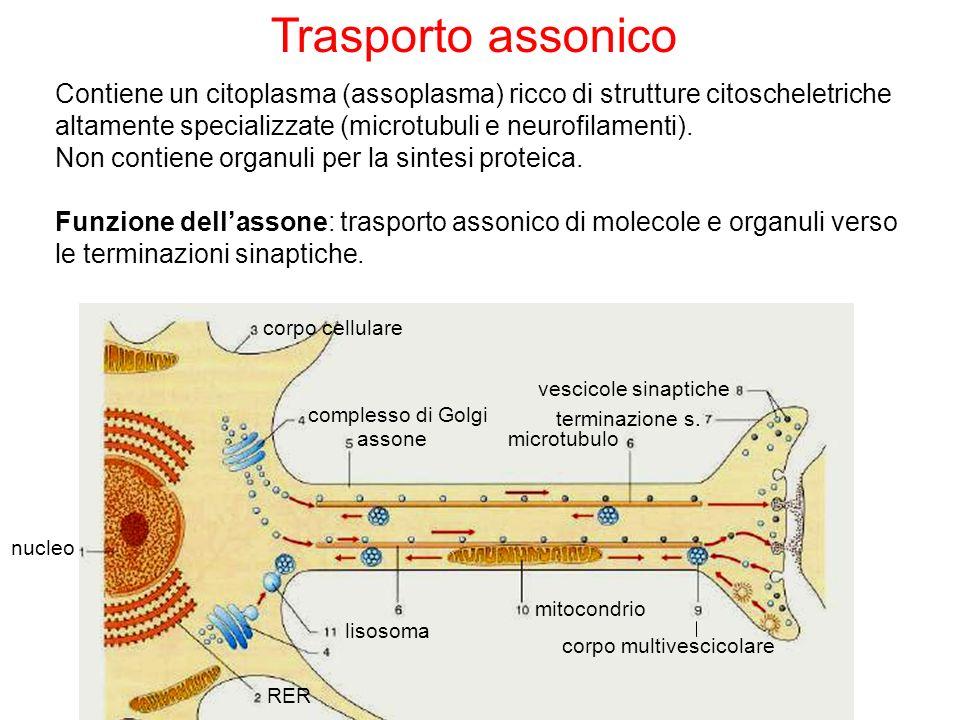 Trasporto assonico Contiene un citoplasma (assoplasma) ricco di strutture citoscheletriche altamente specializzate (microtubuli e neurofilamenti). Non
