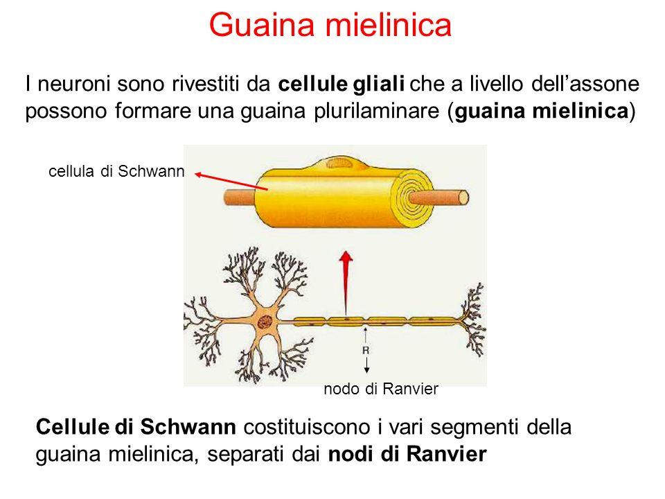 I neuroni sono rivestiti da cellule gliali che a livello dellassone possono formare una guaina plurilaminare (guaina mielinica) Guaina mielinica Cellu