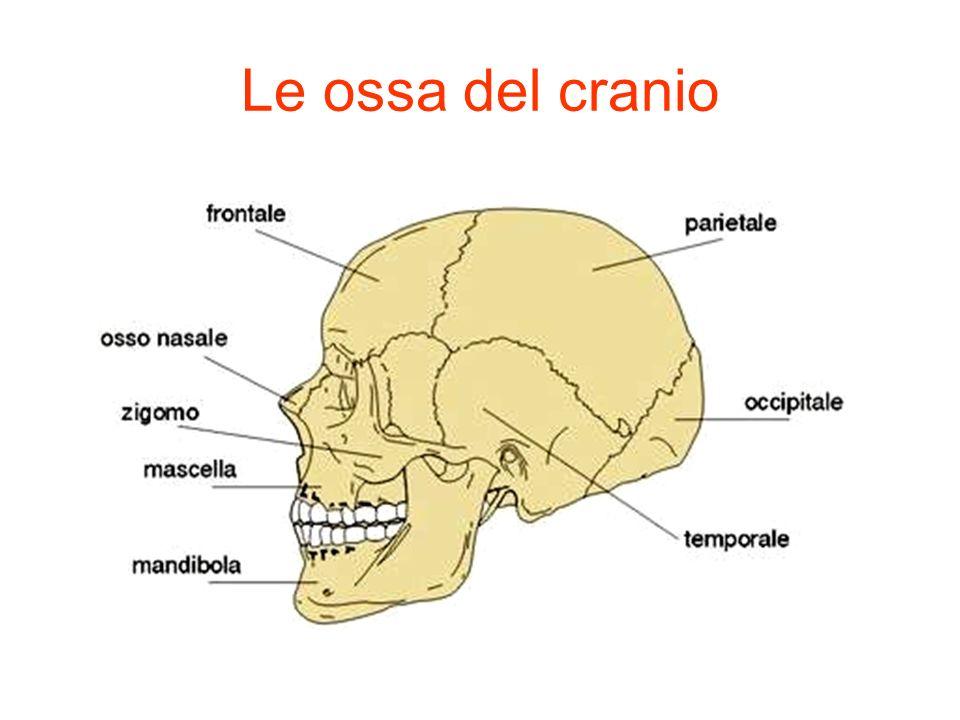 Le ossa del cranio
