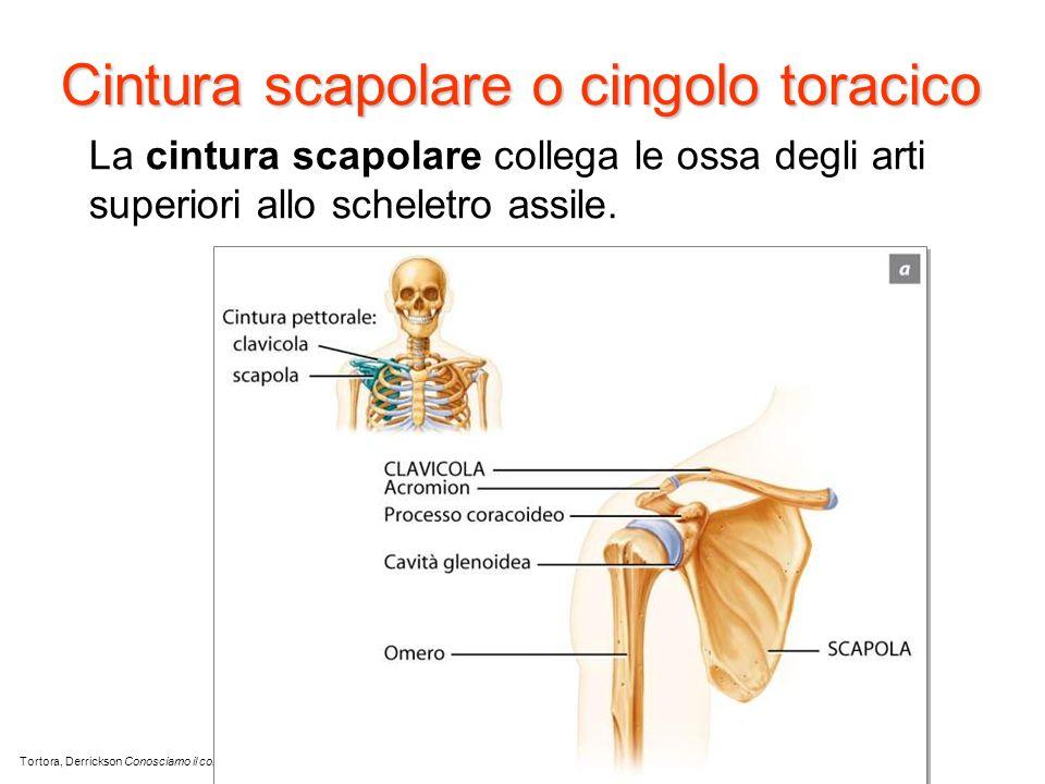 Cintura scapolare o cingolo toracico La cintura scapolare collega le ossa degli arti superiori allo scheletro assile. Tortora, Derrickson Conosciamo i