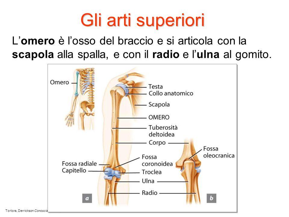 Gli arti superiori Lomero è losso del braccio e si articola con la scapola alla spalla, e con il radio e lulna al gomito. Tortora, Derrickson Conoscia