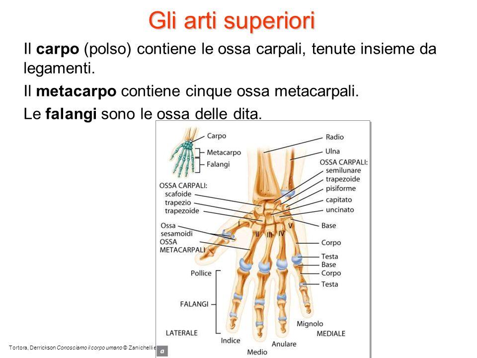 Gli arti superiori Il carpo (polso) contiene le ossa carpali, tenute insieme da legamenti. Il metacarpo contiene cinque ossa metacarpali. Le falangi s