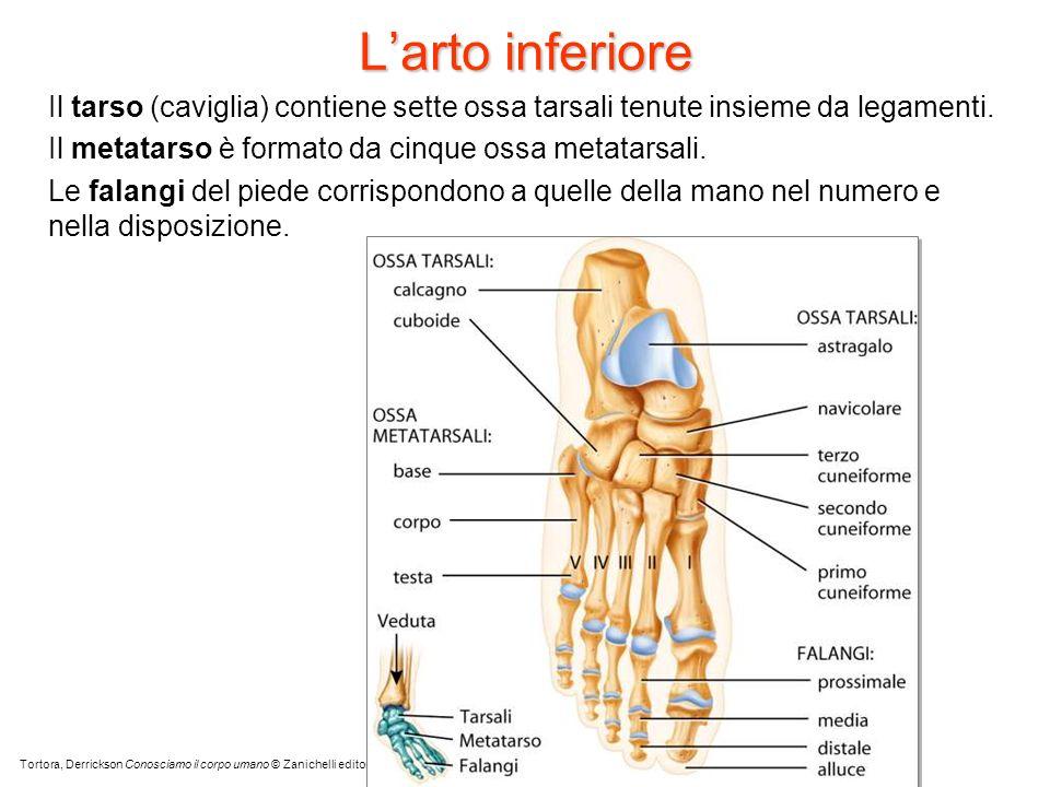 Larto inferiore Il tarso (caviglia) contiene sette ossa tarsali tenute insieme da legamenti. Il metatarso è formato da cinque ossa metatarsali. Le fal
