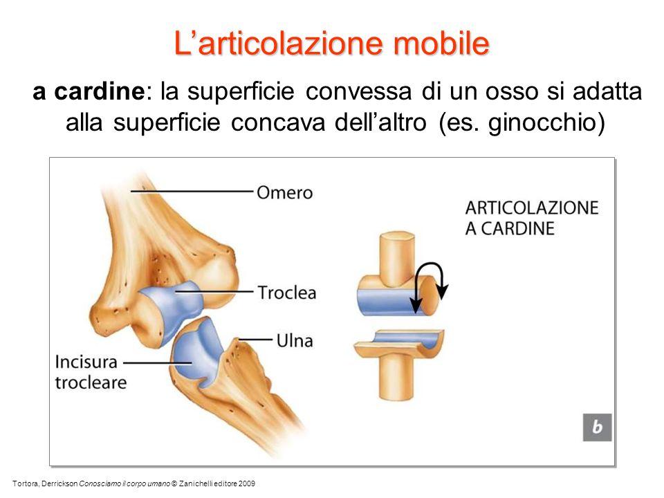 a cardine: la superficie convessa di un osso si adatta alla superficie concava dellaltro (es. ginocchio) Tortora, Derrickson Conosciamo il corpo umano