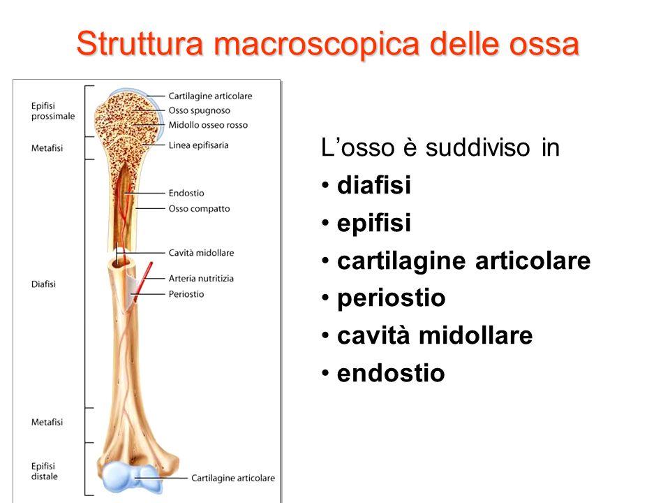 Struttura macroscopica delle ossa Losso è suddiviso in diafisi epifisi cartilagine articolare periostio cavità midollare endostio Tortora, Derrickson