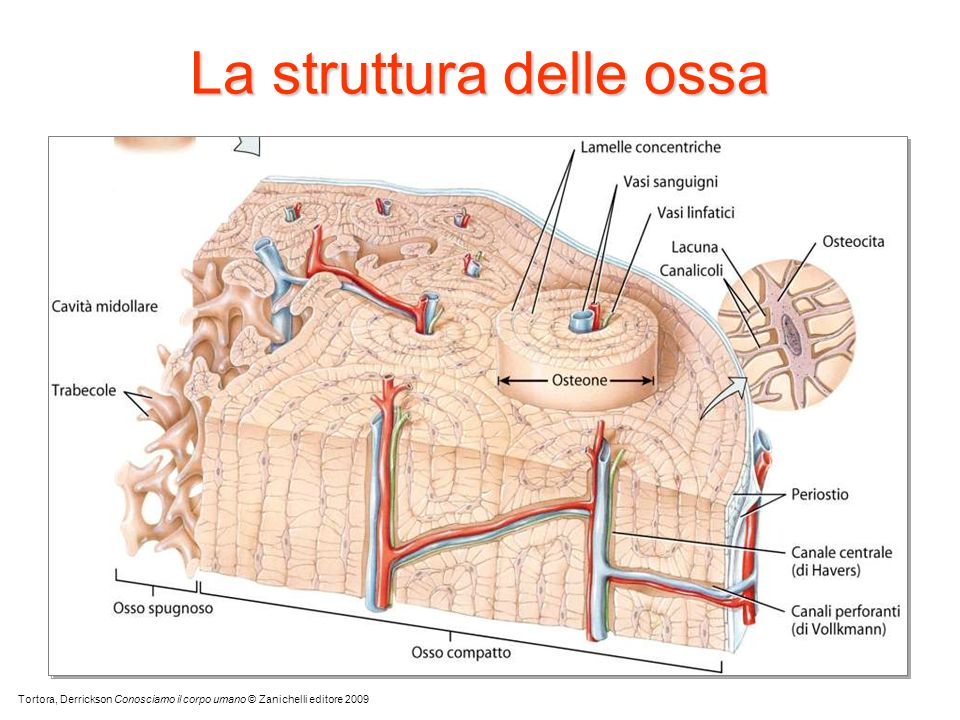 La struttura delle ossa Tortora, Derrickson Conosciamo il corpo umano © Zanichelli editore 2009