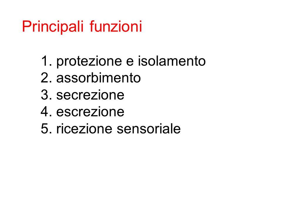1. protezione e isolamento 2. assorbimento 3. secrezione 4. escrezione 5. ricezione sensoriale Principali funzioni