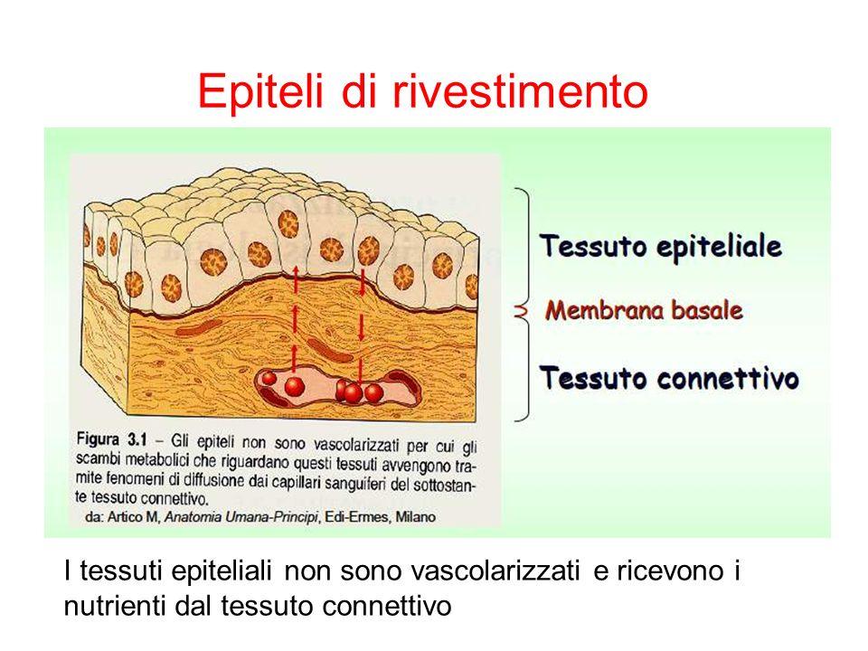 Epiteli di rivestimento I tessuti epiteliali non sono vascolarizzati e ricevono i nutrienti dal tessuto connettivo
