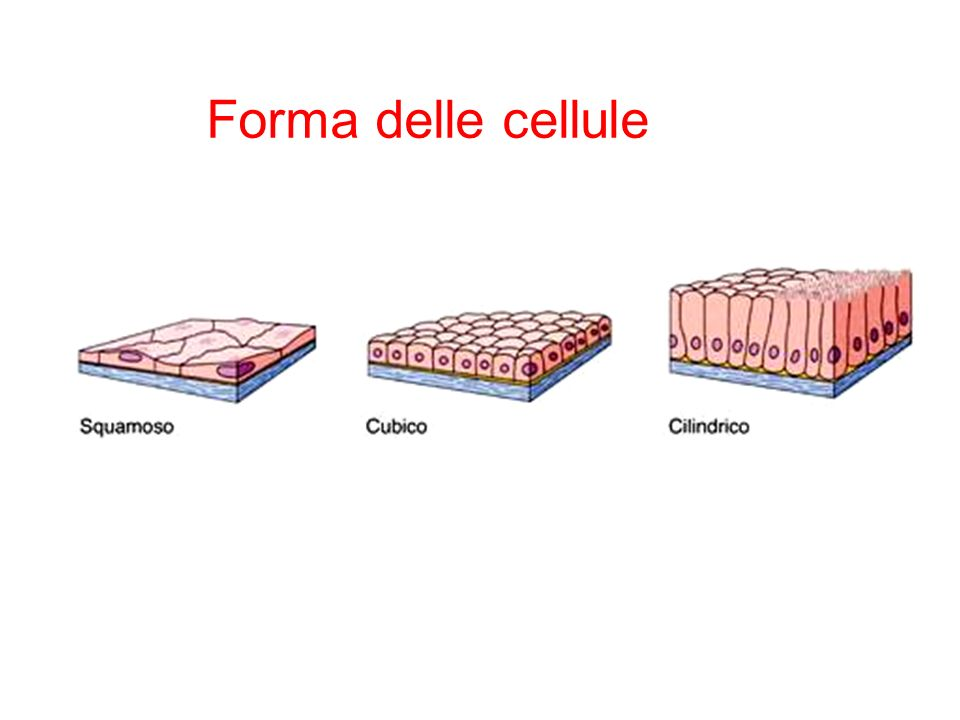 Forma delle cellule