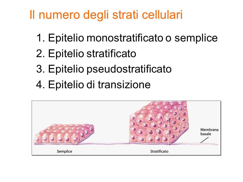 1. Epitelio monostratificato o semplice 2. Epitelio stratificato 3. Epitelio pseudostratificato 4. Epitelio di transizione Il numero degli strati cell