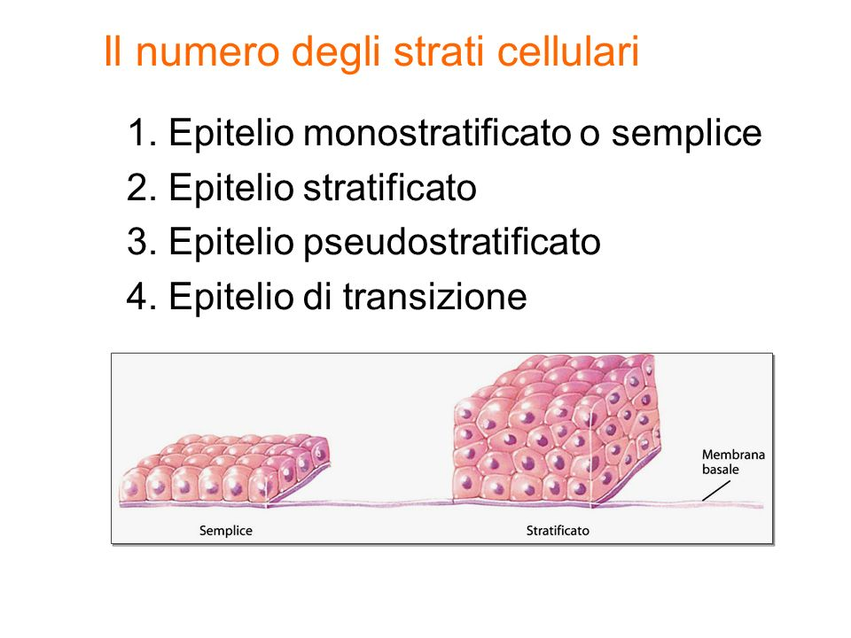 1.Epitelio monostratificato o semplice 2. Epitelio stratificato 3.
