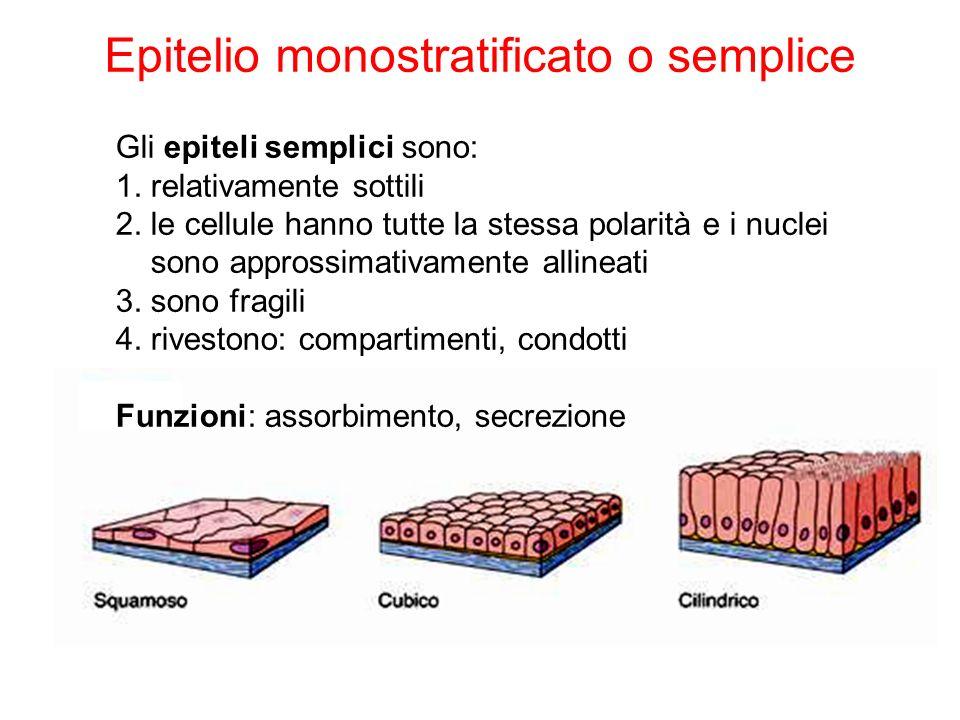 Epitelio monostratificato o semplice Gli epiteli semplici sono: 1. relativamente sottili 2. le cellule hanno tutte la stessa polarità e i nuclei sono
