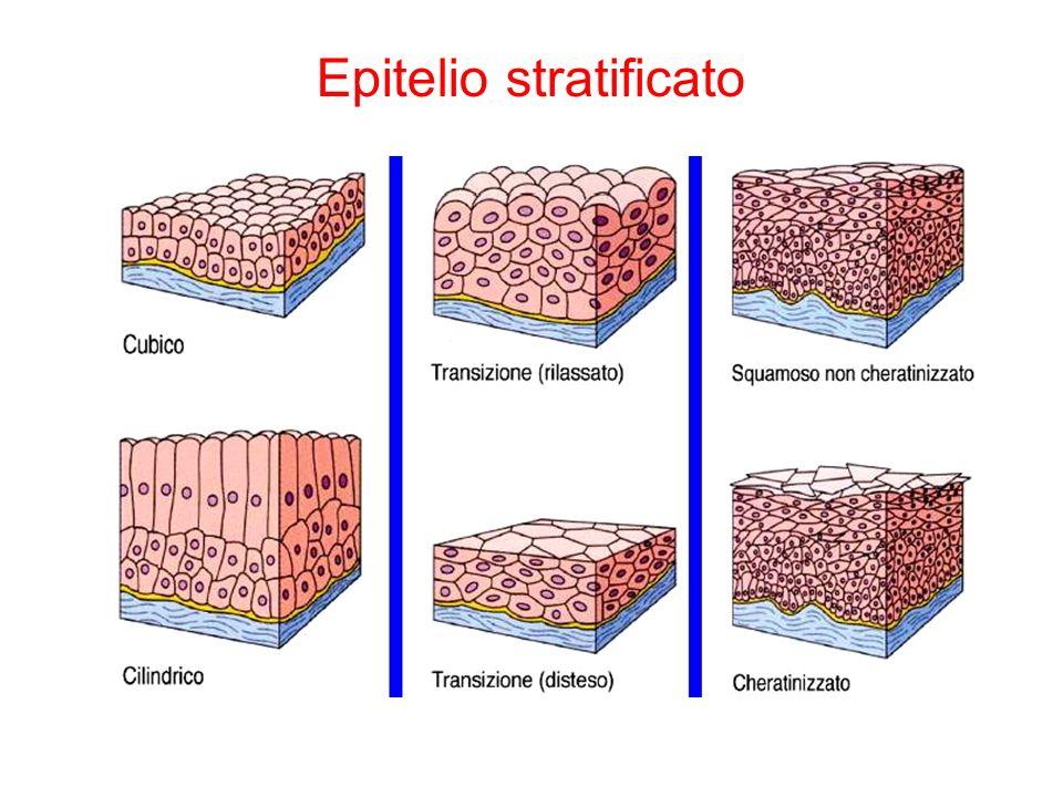Transizione (vescica urinaria) Squamoso non cheratinizzato epiteli umidi (bocca, esofago, organi genitali) Epitelio pluristratificato Squamoso cheratinizzato impermeabile !.