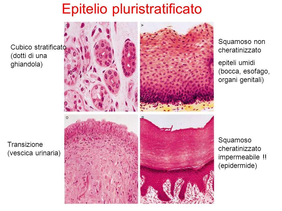 Transizione (vescica urinaria) Squamoso non cheratinizzato epiteli umidi (bocca, esofago, organi genitali) Epitelio pluristratificato Squamoso cherati