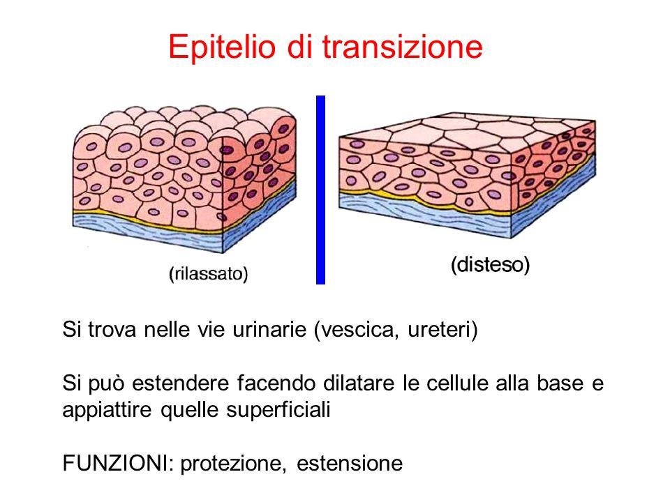Epitelio di transizione Si trova nelle vie urinarie (vescica, ureteri) Si può estendere facendo dilatare le cellule alla base e appiattire quelle supe