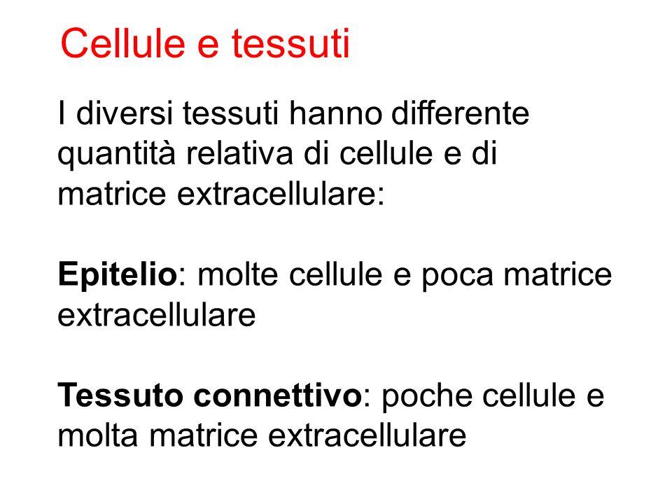 I diversi tessuti hanno differente quantità relativa di cellule e di matrice extracellulare: Epitelio: molte cellule e poca matrice extracellulare Tes