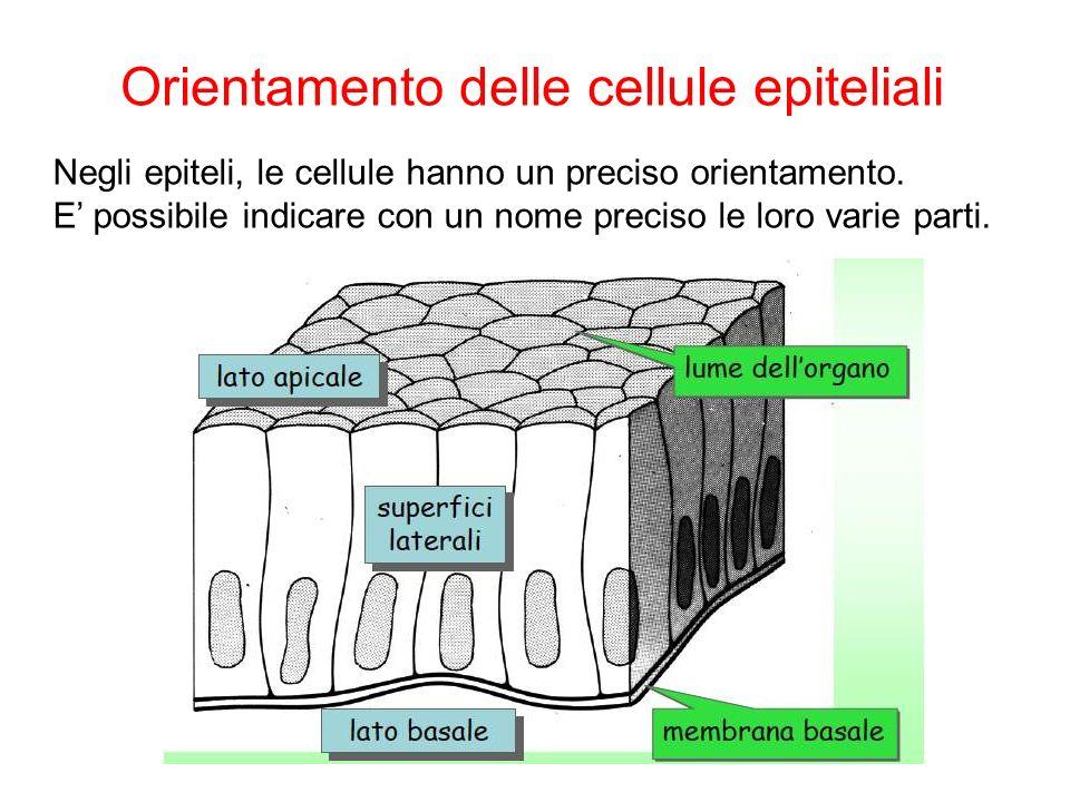 Negli epiteli, le cellule hanno un preciso orientamento. E possibile indicare con un nome preciso le loro varie parti. Orientamento delle cellule epit