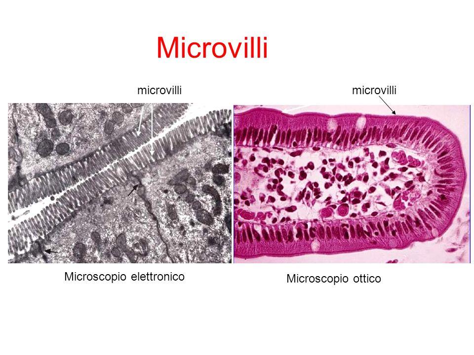 microvilli Microscopio elettronico Microscopio ottico Microvilli