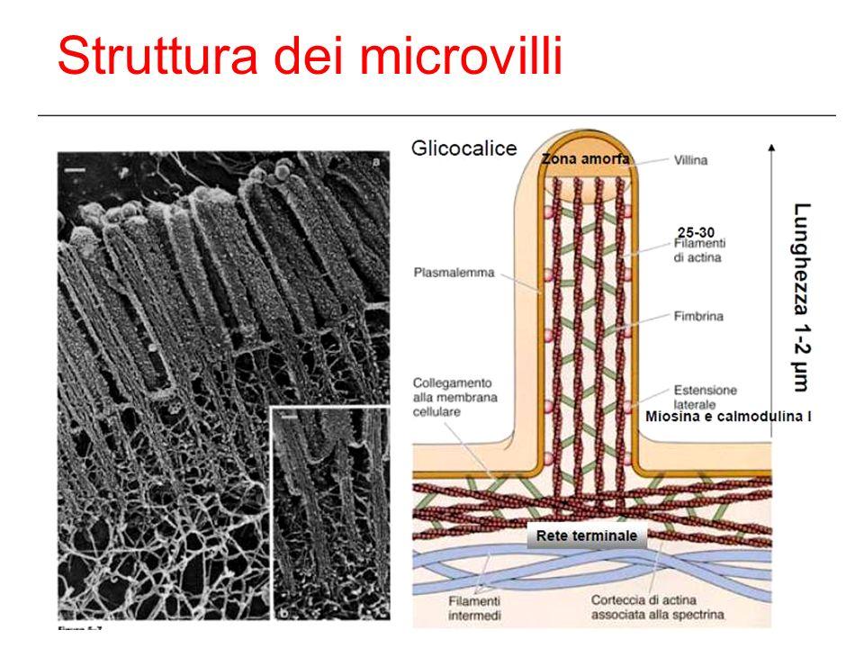 Definizione: sono dei lunghi microvilli relativamente rigidi con filamenti di actina.