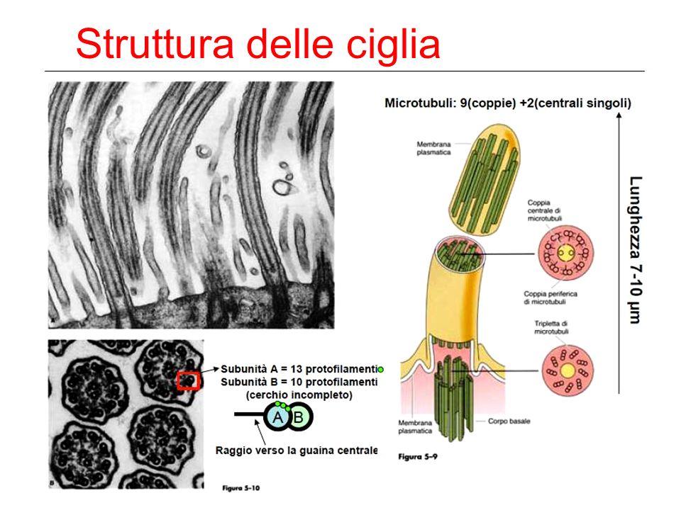 Ciglia e microvilli Ciglia