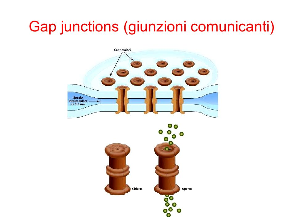 Gap junctions (giunzioni comunicanti)