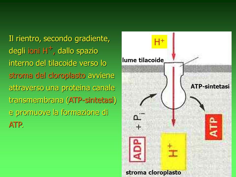 Il rientro, secondo gradiente, degli ioni H +, dallo spazio interno del tilacoide verso lo stroma del cloroplasto avviene attraverso una proteina canale transmembrana (ATP-sintetasi) e promuove la formazione di ATP.